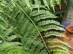 ミシモフォリアの葉