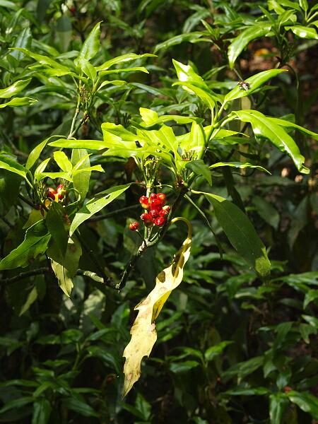 アオキ (植物)の画像 p1_15