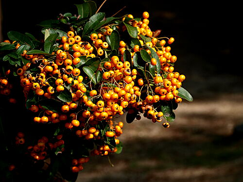 柿色の実 ピラカンサとは|ヤサシイエンゲイ 詳しい育て方花木・庭木バラ科TOPページ 枝を埋める