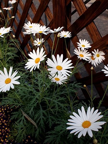 マーガレット (植物)の画像 p1_38